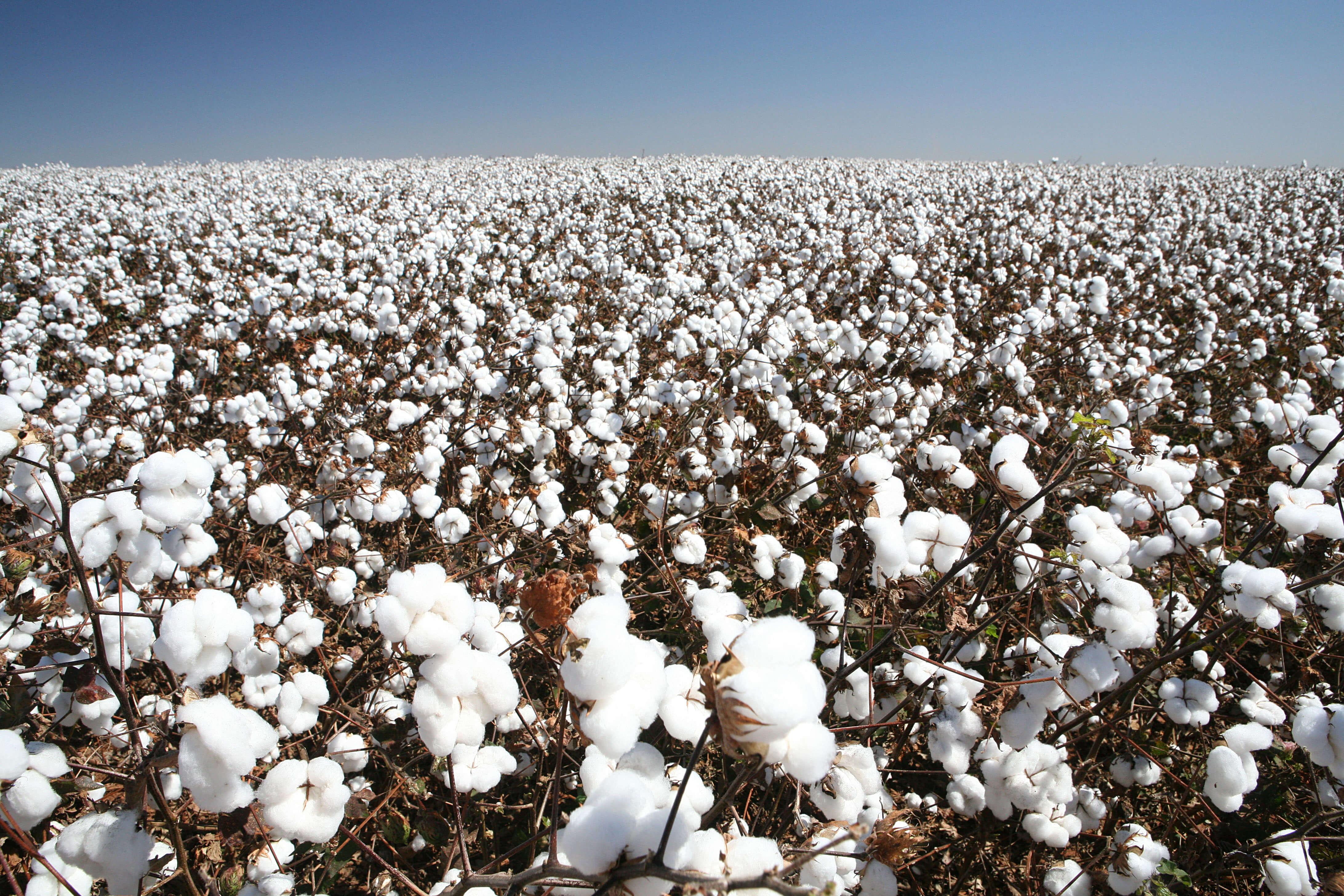 Cotton AdobeStock_79525524