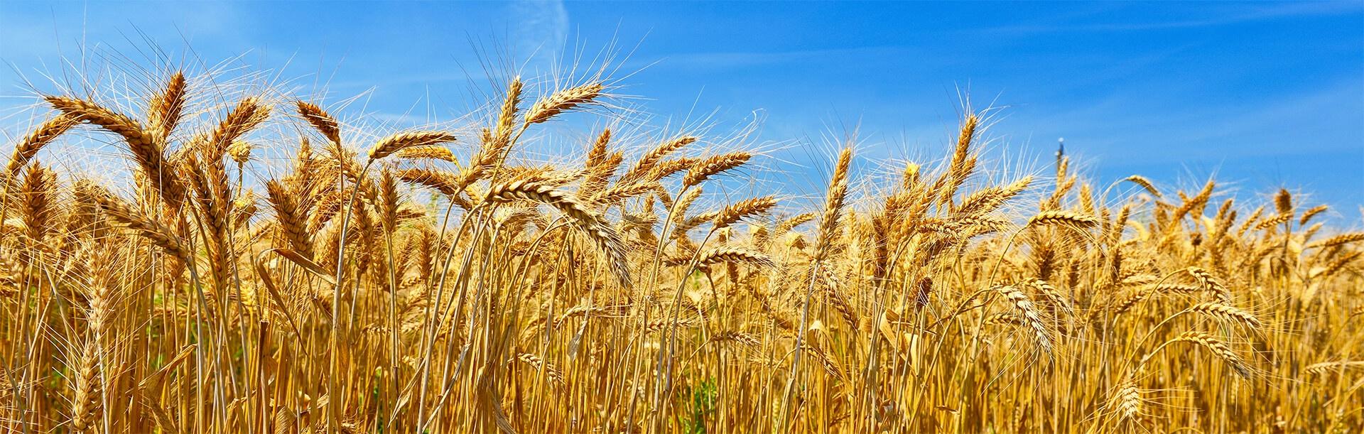 wheat-post-sized