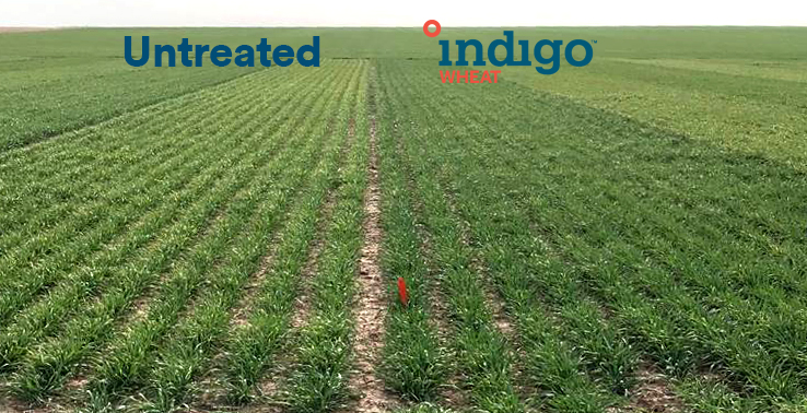 Indigo Wheat_Bucklin_KS_image001 copy-1