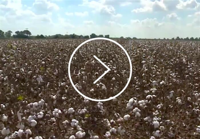 Indigo cotton
