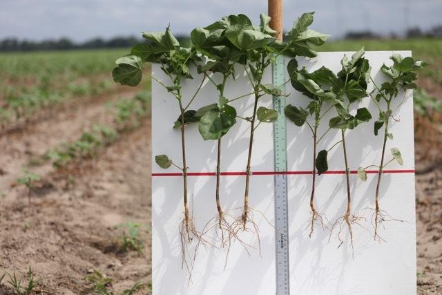 Cotton Roots