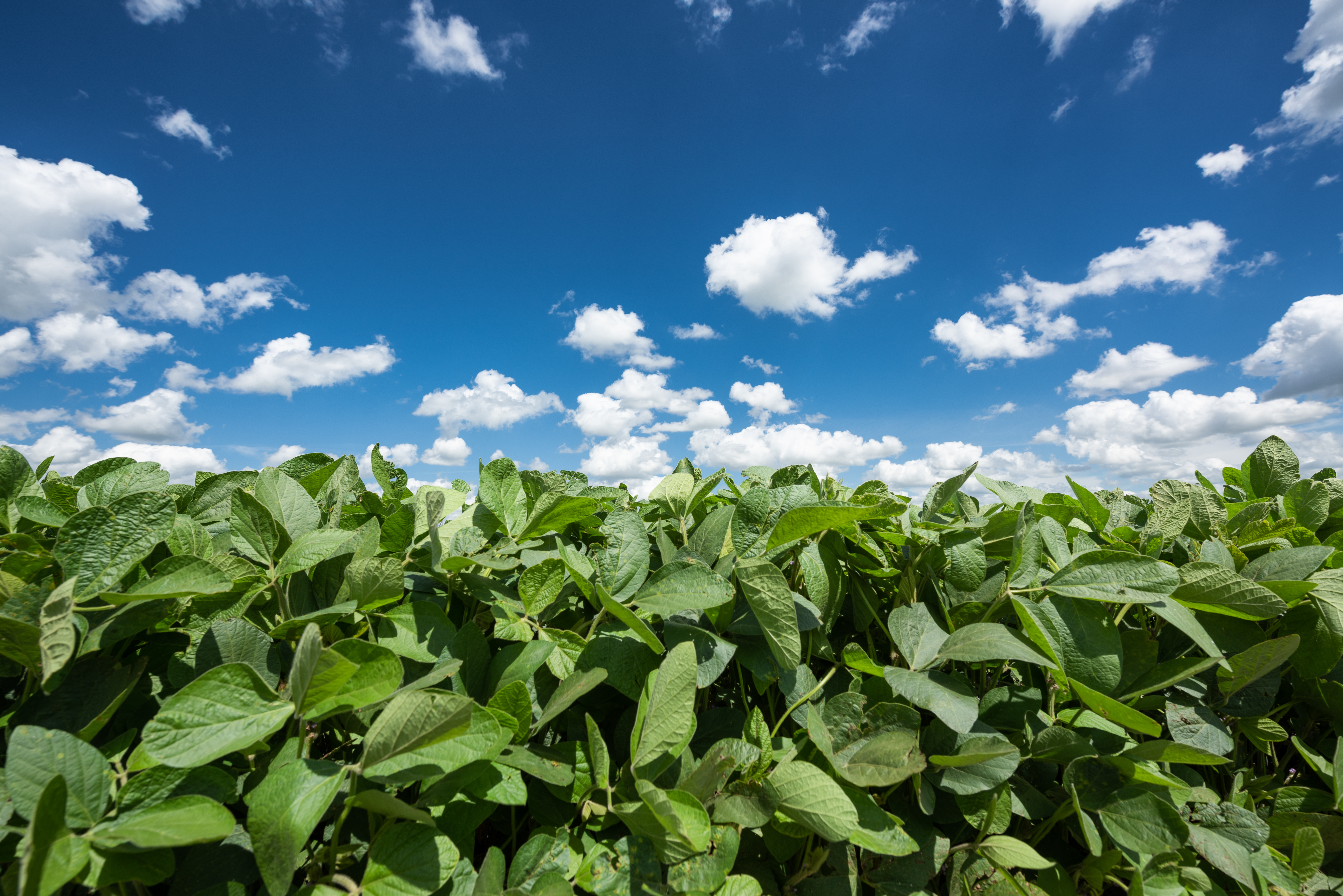 soybeans in argentina